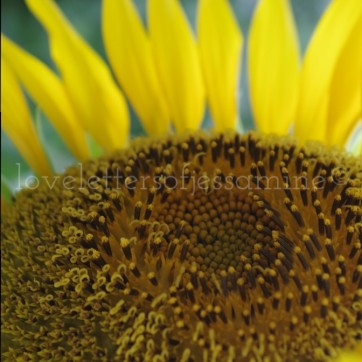 Sunflower at UP Diliman