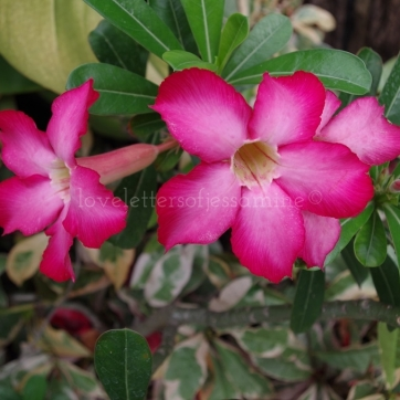 Fuchsia Bell-Shaped Flowers @ Nikki's Garden