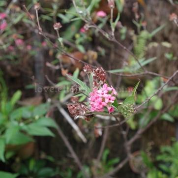 Light pink flowers @ Nikki's Garden