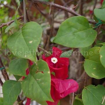 Bougainvillea @ Nikki's Garden