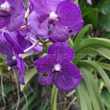 Purple Orchids @ Nikki's Garden